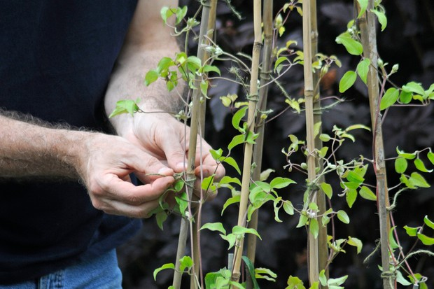 Tying in clematis stems