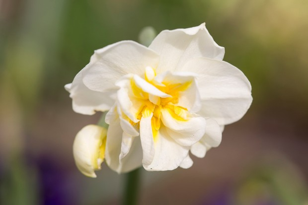 narcissus-cheerfulness-4