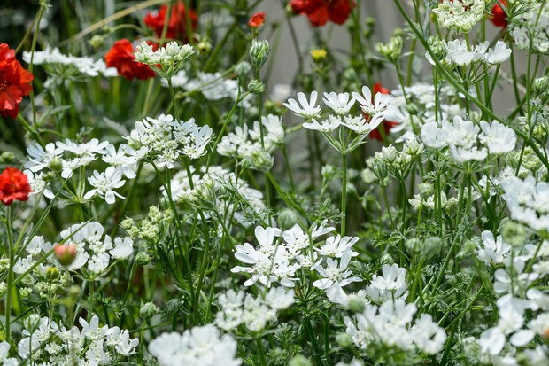 White laceflowers