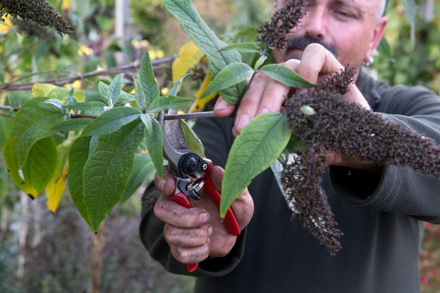 pruning-a-buddleia-2