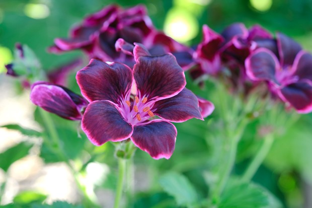 Pink-edged, dark purple flowers of Pelargonium 'Lord Bute'