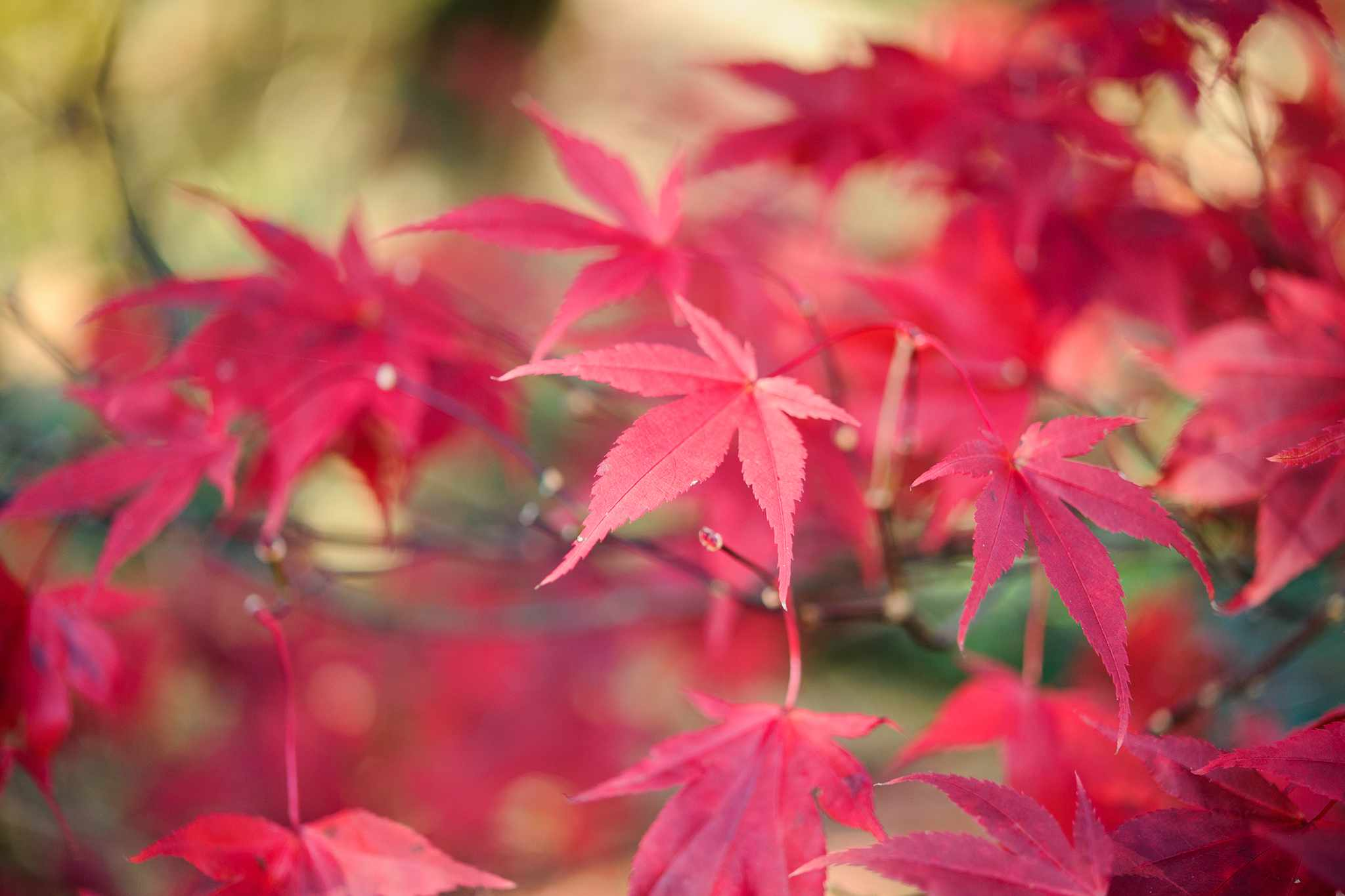 Red-leaved acer