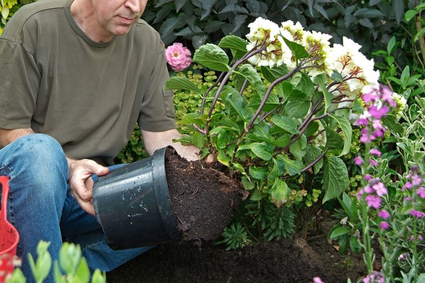 Removing the shrub from its pot