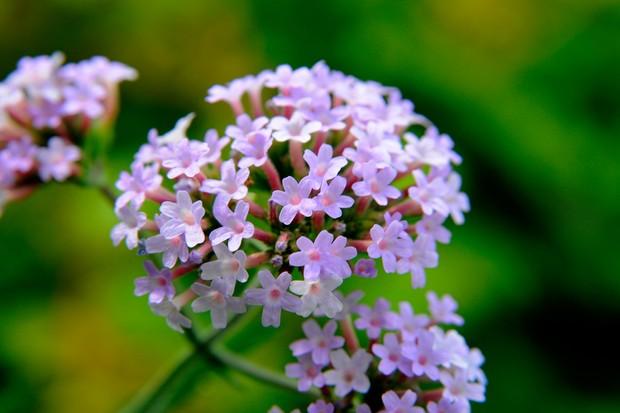 Light-purple verbena flowers