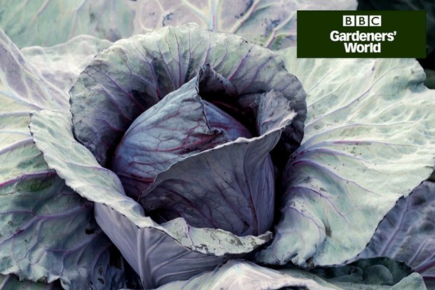 How to plant winter cabbages