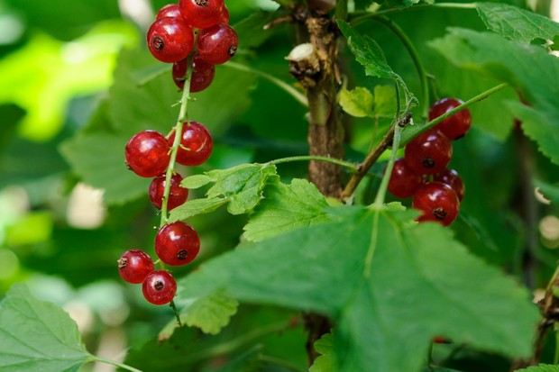 Strings of ripe redcurrants