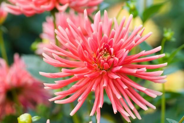 Salmon pink blooms of semi-cactus dahlia 'Pianella'