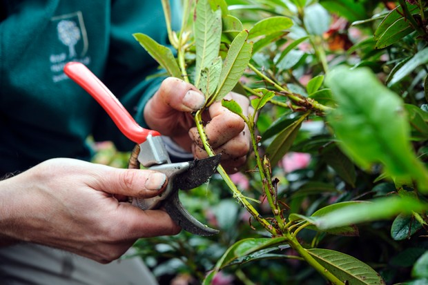 How to layer rhododendrons - choosing a low-growing stem