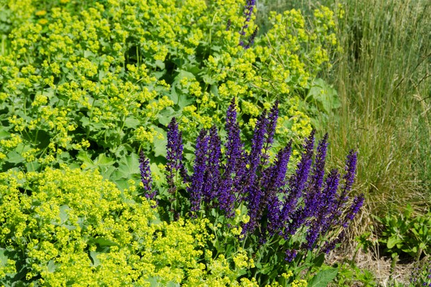 alchemilla-mollis-with-salvia-x-sylvestris-mainacht-2