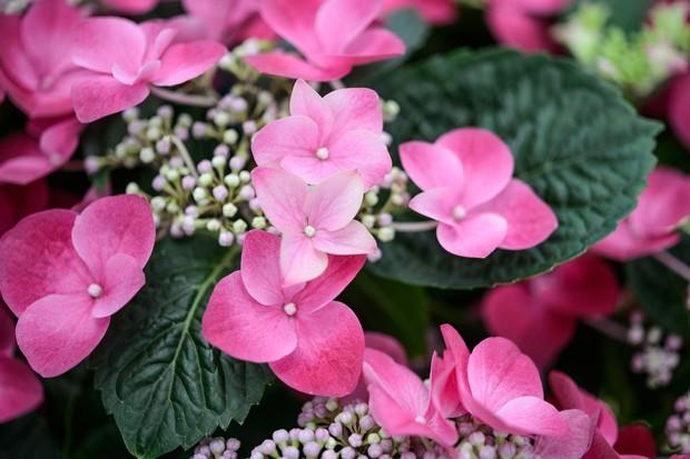 pink-hydrangea-4