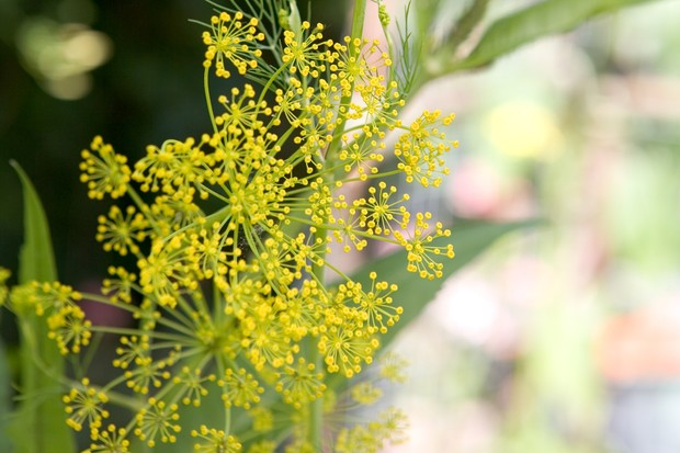 Delicate umbels of bright yellow dill flowers