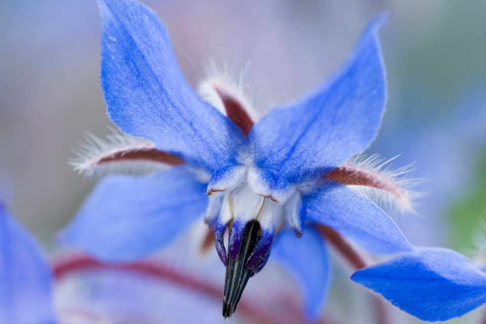 A blue borage bloom