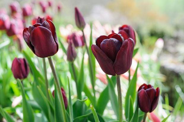 tulip-jan-reus-2