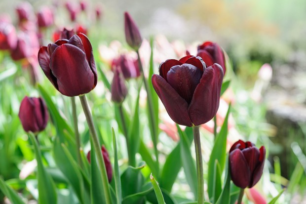 Deep-maroon flowers of tulip 'Jan Reus'