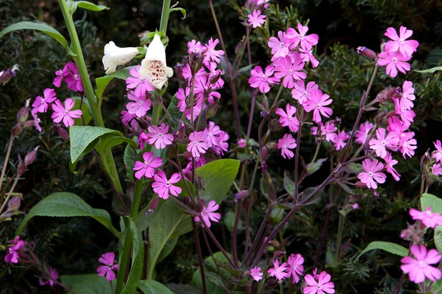 Red campion (Silene dioica) with white foxglove flower