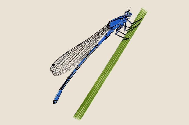 Illustration of the common damselfly