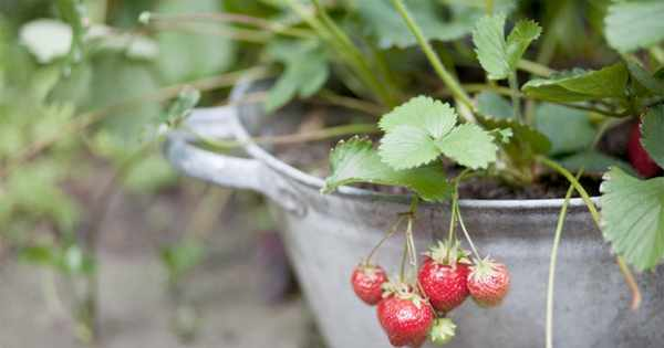 The 10 best fruits for containers