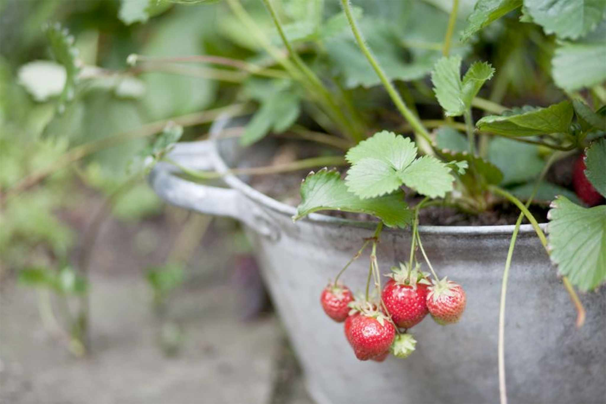 Strawberries growing in a container