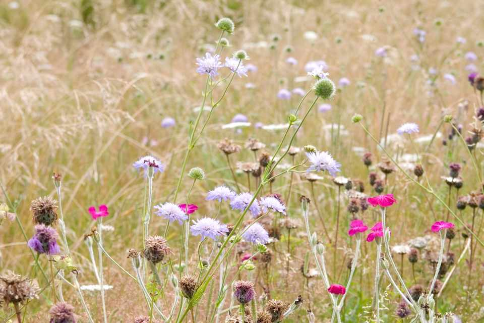 Purple and pink wildflowers amongst meadow grasses