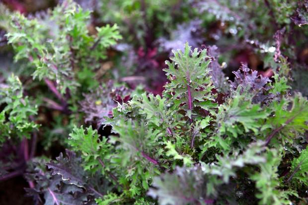 Kale 'Ragged Jack'