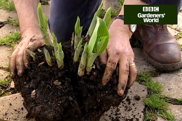 How to lift and divide hostas