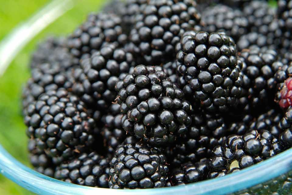 How To Grow Blackberries (in pictures) - gardenersworld com