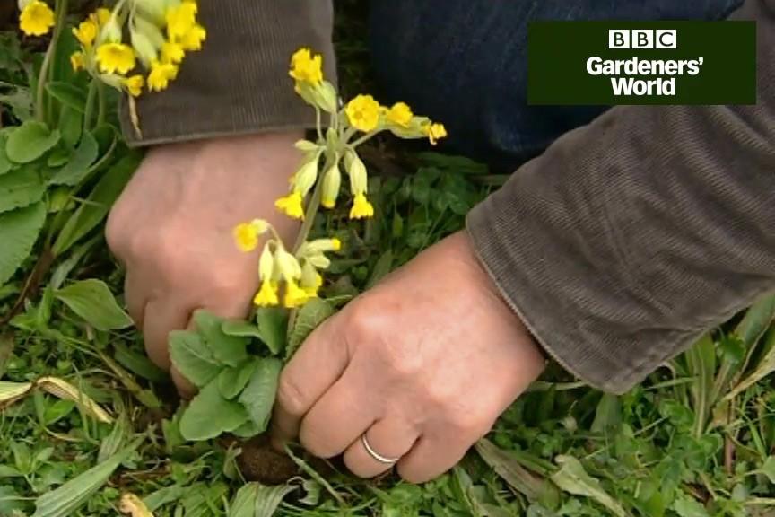 Planting primulas