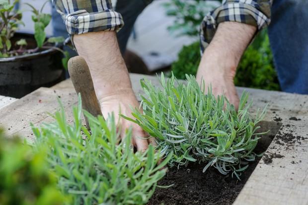 planting-lavender-2