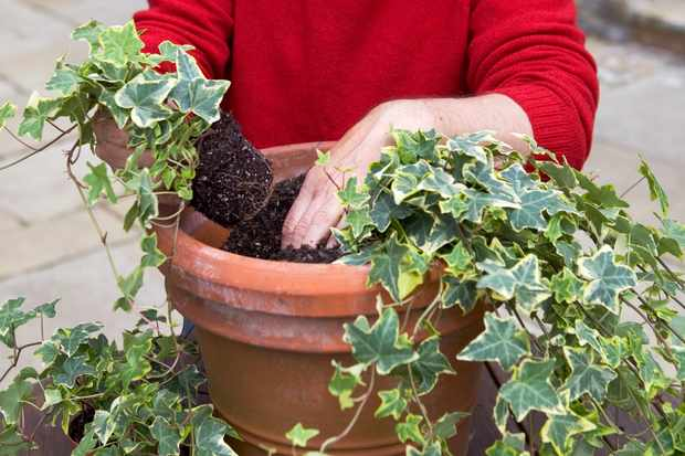 planting-the-ivy-3