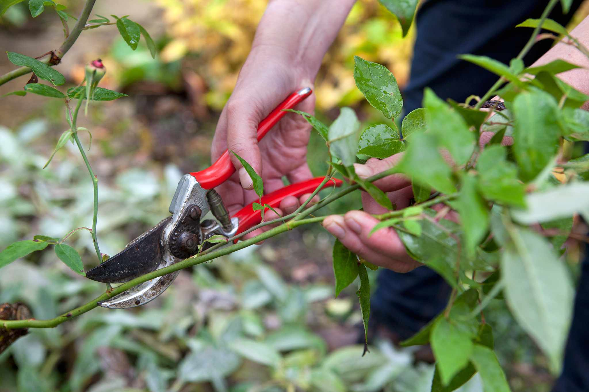 Pruning roses in autumn