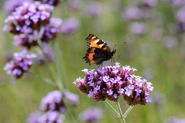 Verbena bonariensis lollipop with tortoiseshell butterfly