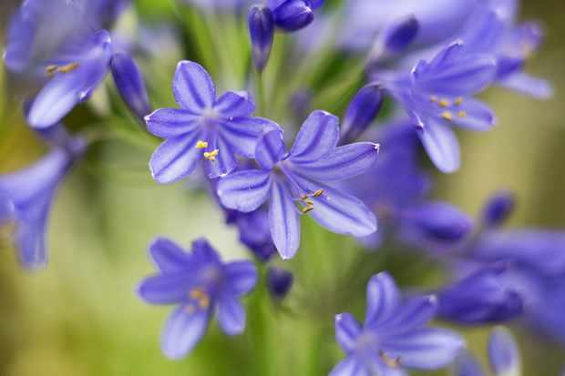 Agapanthus 'Brilliant Blue'