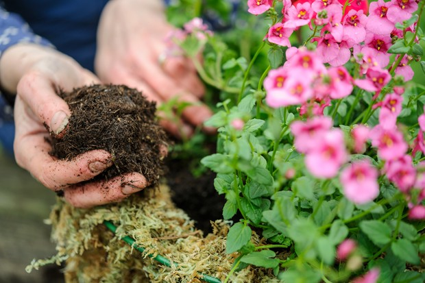 Adding compost around the newly planted plants