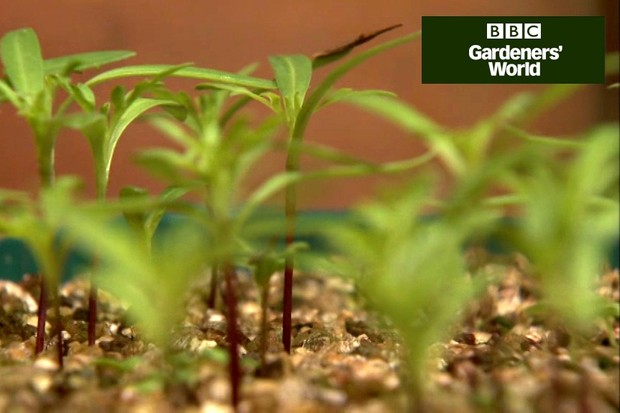 How to prick out seedlings
