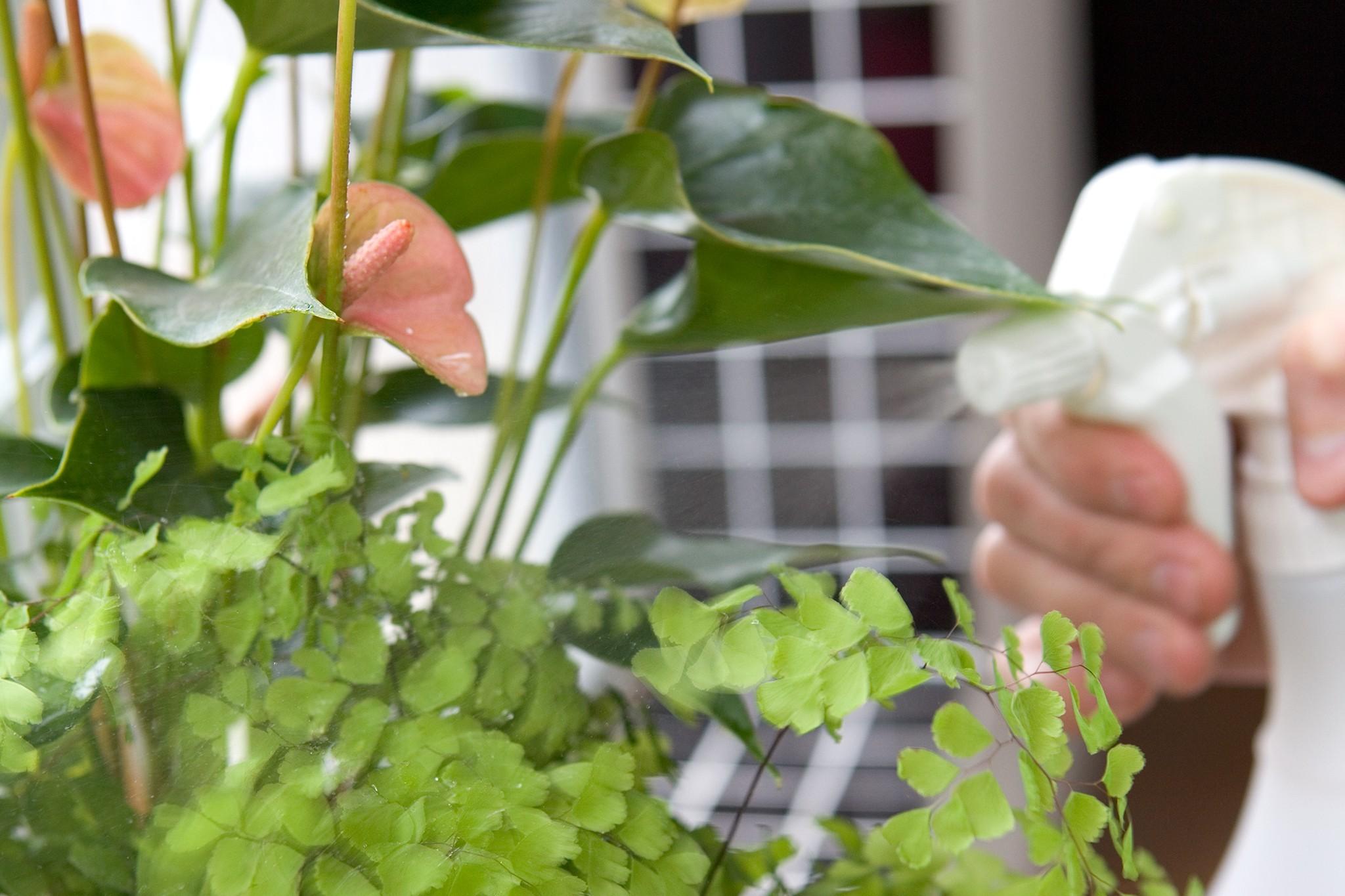 Spraying a houseplant