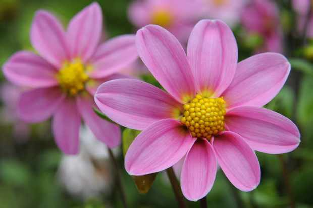 Grow Dahlias from Seed