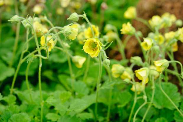 Yellow geum flowers