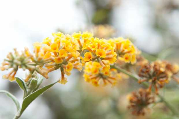 Golden yellow flowers of Buddleja × weyriana 'Sungold'