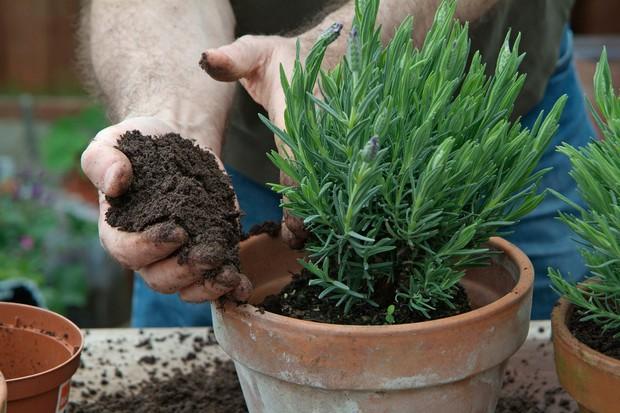 planting-lavender-in-pots-3