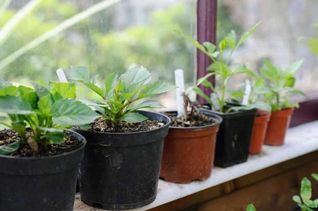 rooted-dahlia-tubers-on-windowsill-2