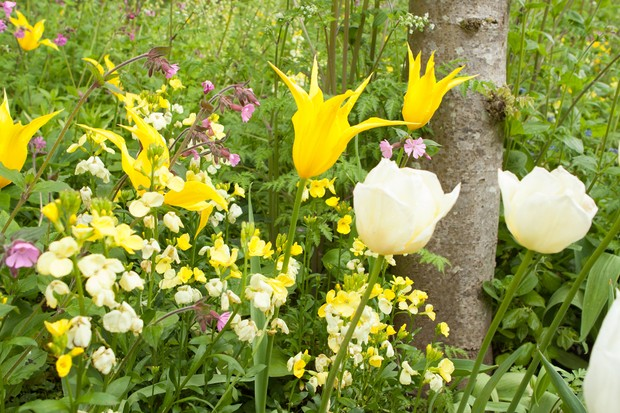 tulips-growing-with-wallflowers