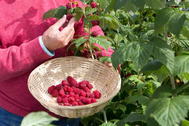 picking-raspberries-3