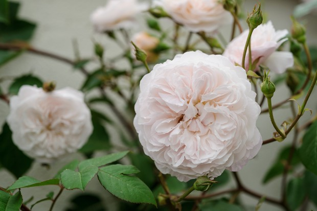 Palest-pink, double flowers of Rosa 'The Albrighton Rambler'