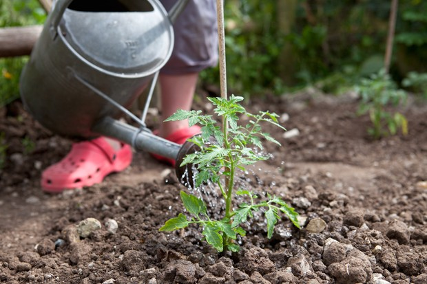 Watering a newly planted tomato plant with a watering can