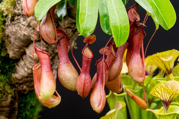 nepenthes-x-ventrata-2