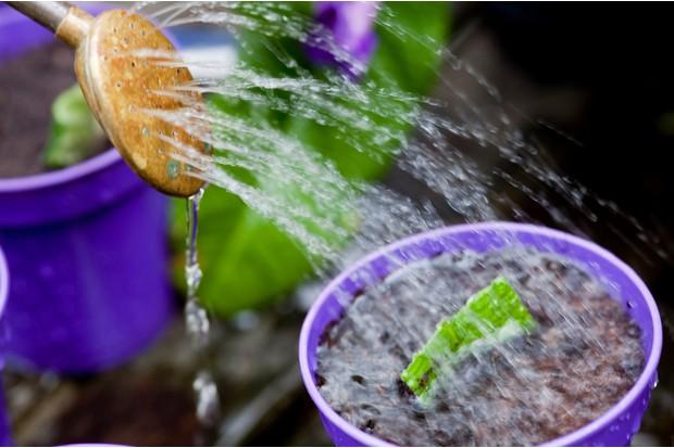 Watering the streptocarpus leaf cuttings