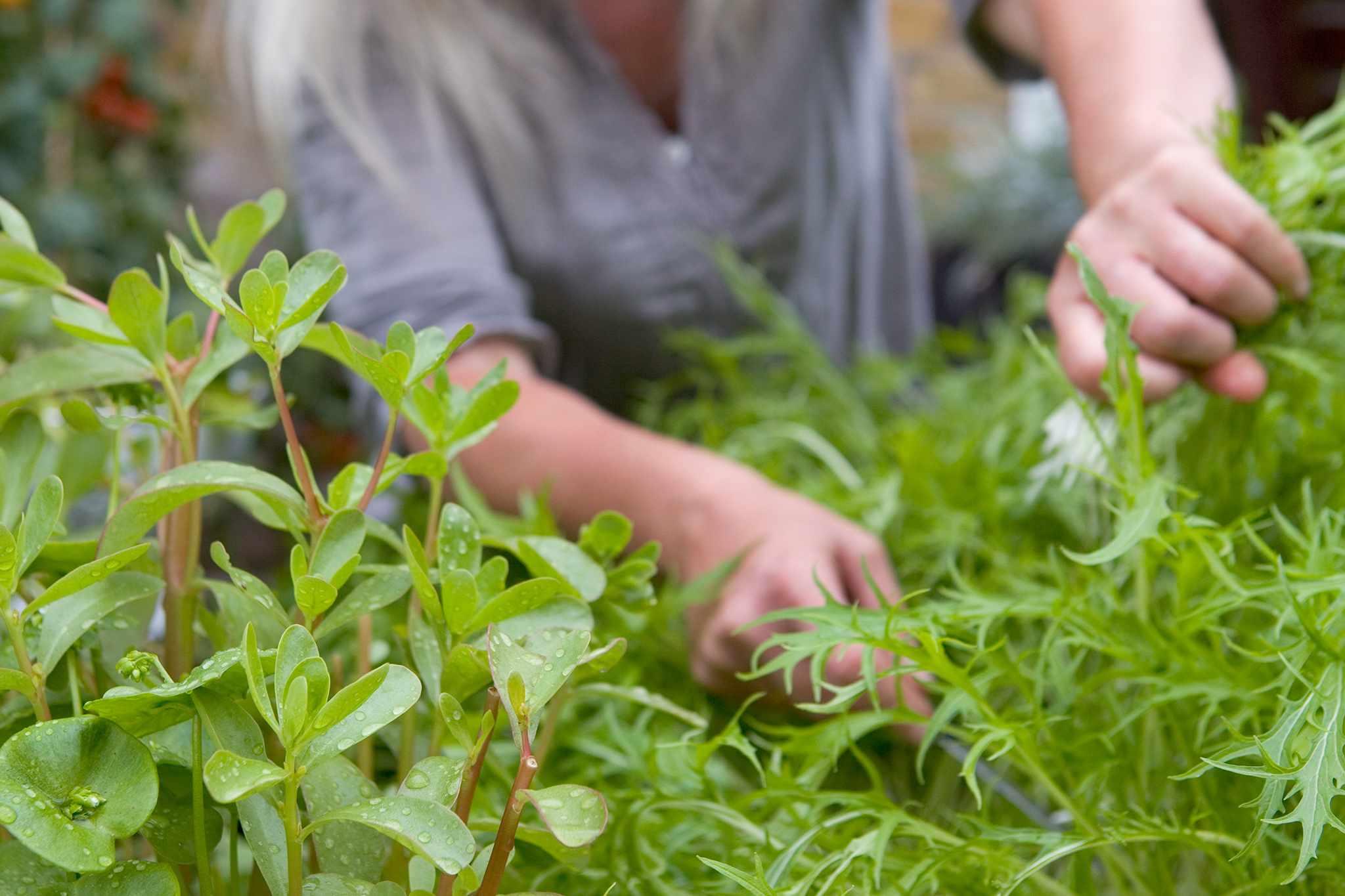 Harvesting mizuna