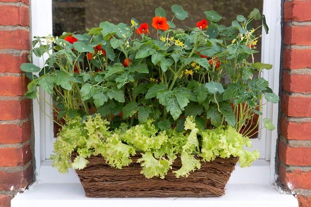 tomato-lettuce-and-nasturtium-window-box-3