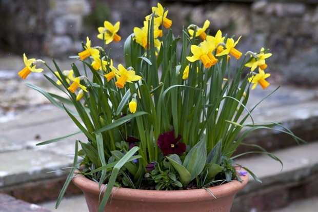 10 spring container ideas gardenersworld daffodils and viola container 2 mightylinksfo