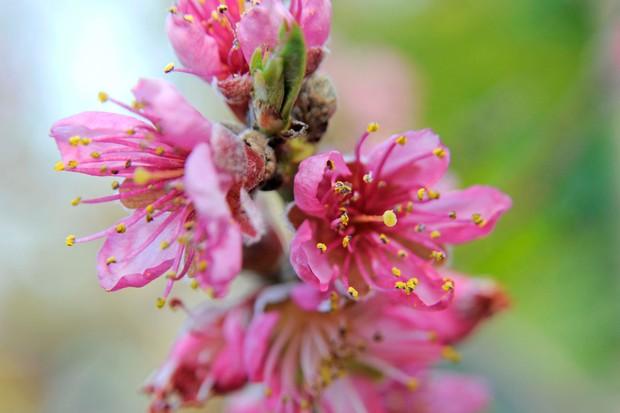 prunus-persica-avalon-pride-3